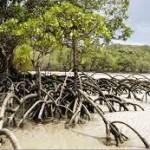 mangrove X