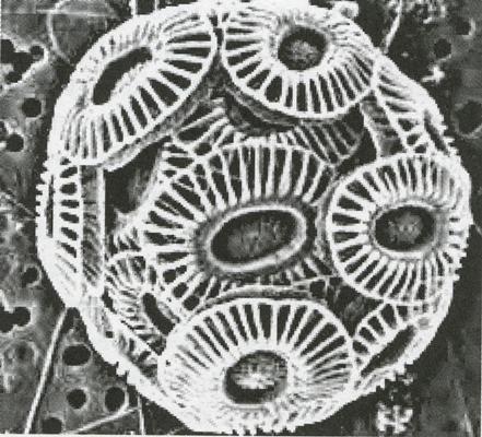 Emiliania huxley sett gjennomen et elektronmikroskop – Illustrasjon fra boken
