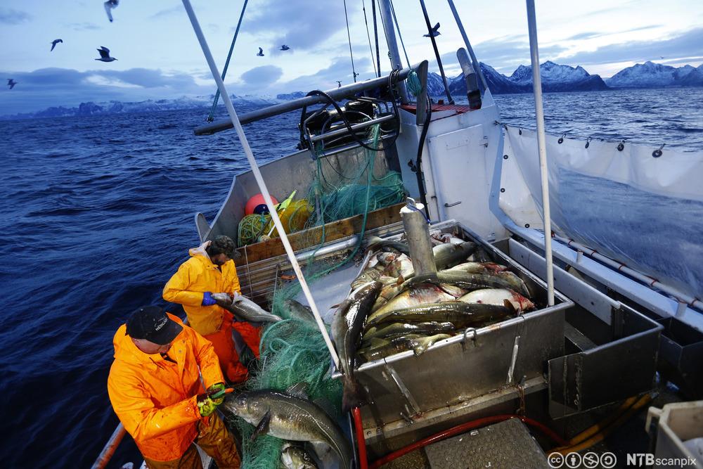 SENJA 20150115. Skipper Trond Dalgård (51) og Jan Gunnar Johansen fisker etter skrei på havet ved Gryllefjord på utsiden av Senja. Begge er oppvokst på øya og har havet som nærmeste nabo og arbeidsplass. Det årlige skreifiske starter i januar og varer til april. Fisken er etterspurt over hele verden og årlig eksporteres det torsk for 12 milliarder, hvorav skreien utgjør en verdi på 7.2 milliarder. Det er fler enn fiskerne på Senja som er på jakt etter mat. Hvalen er på jakt etter sild og er et fantastisk skue i den storslåtte men ville naturen. Foto: Cornelius Poppe / NTB scanpix