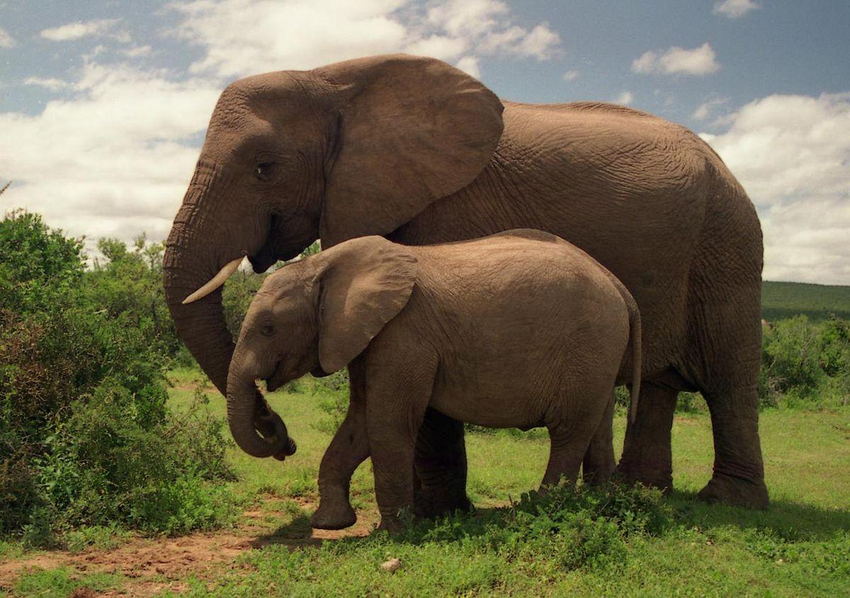 1200px-Two_Elephants_in_Addo_Elephant_National_Park