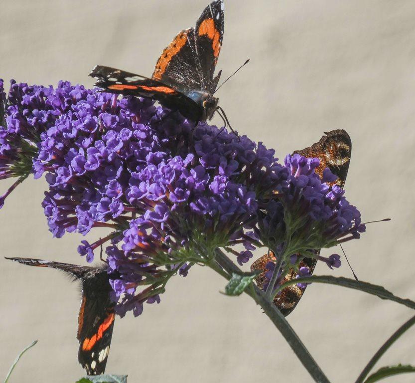 2019 sommerfugler